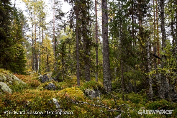 Forest close to lake Blecktjärnen in Jämtland.