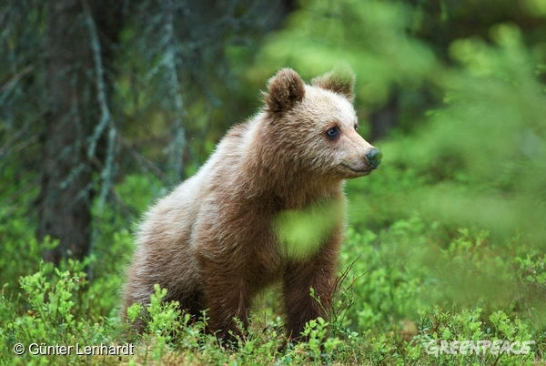 Brown bear in Swedish forest.