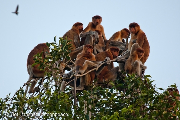 Proboscis monkeys (Nasalis larvatus), also known as long-nosed monkeys, in Tanjung Puting National Park, Central Kalimantan. Proboscis monkeys are listed as Endangered on the IUCN Red List. 10 Sep, 2013  © Ulet Ifansasti / Greenpeace