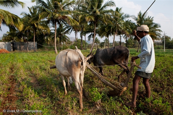 A farmer uses cattle to plow his field in Kammavaripalli Village, Bagepalli, India