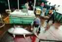Tuna aboard Belize flagged long line fishing vessel