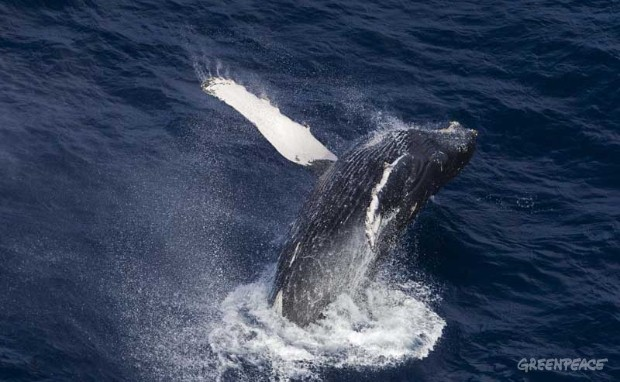 Humpback Whale in the Indian Ocean
