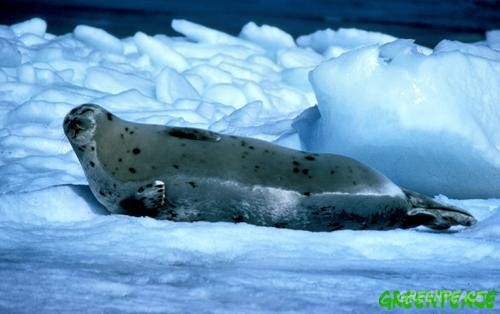 Seal with pup during the breeding season on the ice off Newfoundland.
