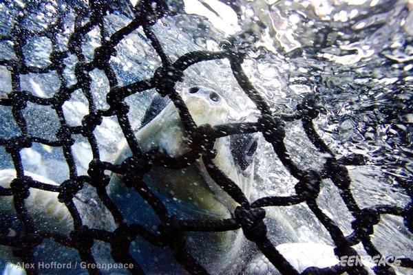 Turtle caught in a net Hofford / Greenpeace
