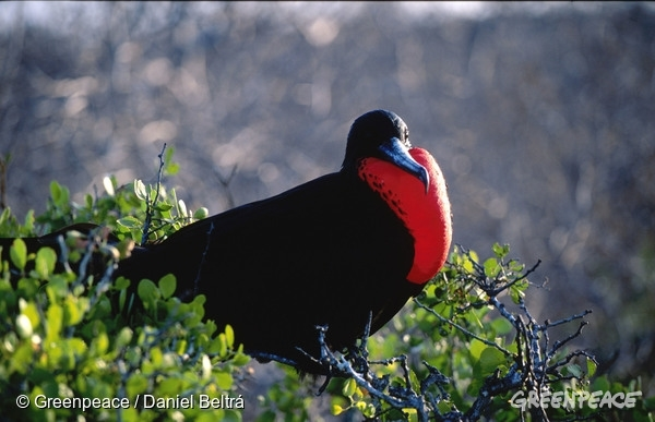 Magnificent Frigate bird showing the red throat. It is sitting on a bush or tree.