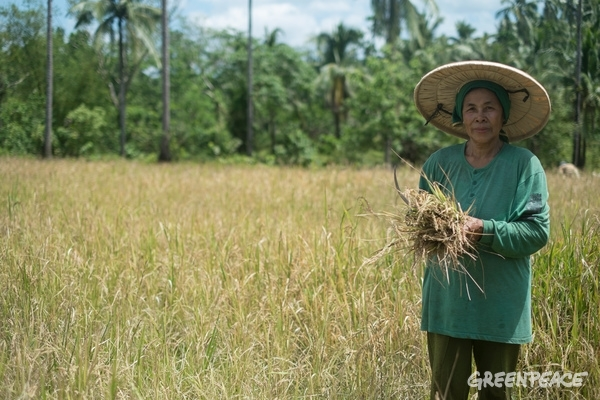 Ecological Rice Harvest in The Philippines. 15 March 2015. © Roy Lagarde / Greenpeace