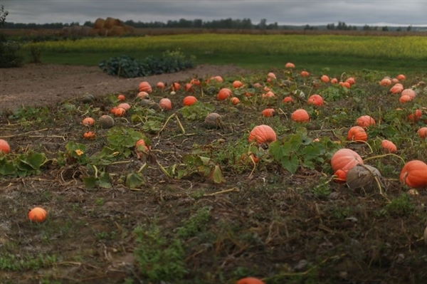 A pumpkin patch in the Bryansk region.  © Denis Sinyakov / Greenpeace