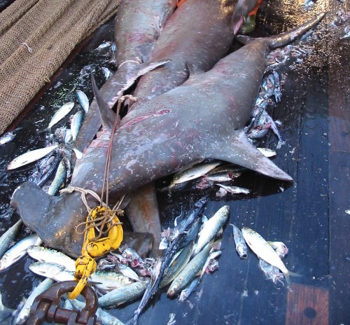 Sharks caught in bycatch