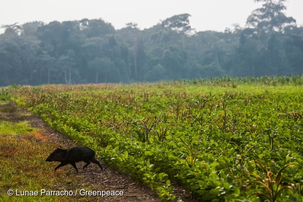 A peccary group hastily goes through a soybean field in northern Mato Grosso, in search of the nearest remaining forest. 29 Nov, 2015  © Lunae Parracho / Greenpeace
