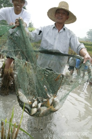 Dai farmers' use a traditional rice-fish farming system.