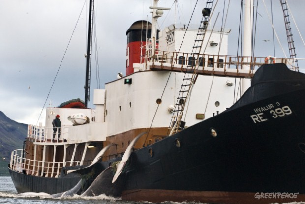 Whales caught in Iceland