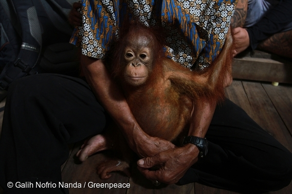 8-month old Otan who lost his mother and home due to deforestation. @ Galih Nofrio Nanda/Greenpeace