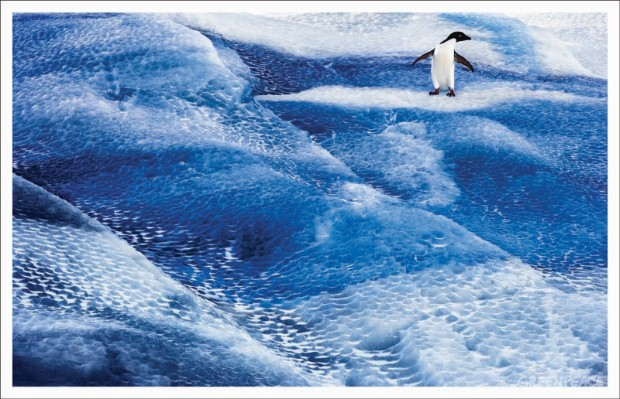 Adelie Penguins in the Ross Sea