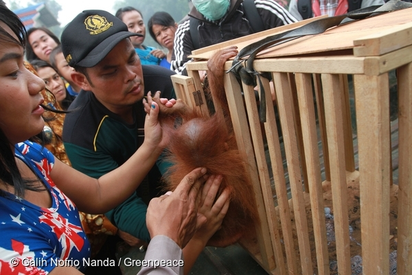 Ayu helps an officer from the NCA place Otan into the cage…. @ Galih Nofrio Nanda/Greenpeace