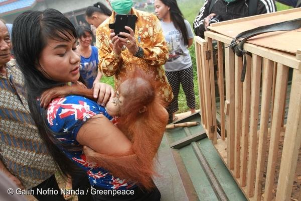 Ayu carries baby Otan to a cage so he can be taken to an orangutan sanctuary. @ Galih Nofrio Nanda/Greenpeace
