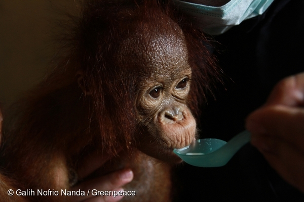 Otan being fed milk. @ Galih Nofrio Nanda/Greenpeace