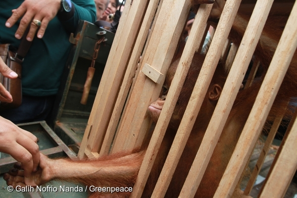 After 30 mins Otan is placed in to the cage. Ayu holds his hand. @ Galih Nofrio Nanda/Greenpeace