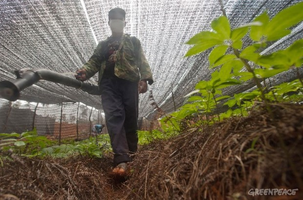 Pseudo-Ginseng Farms In Yunnan.