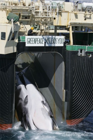 "Greenpeace witnesses the killing of whales in the Southern Ocean by ships of the Japanese whaling fleet. Banner on the Nisshun Maru factory ship says ""Greenpeace Misleads you""."