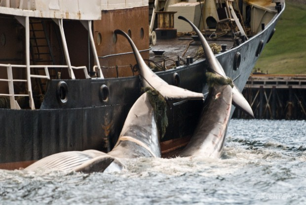 Whaling in Iceland