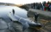 An endangered fin whale is brought to the