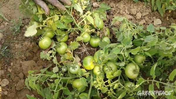 Ecologically grown tomatoes
