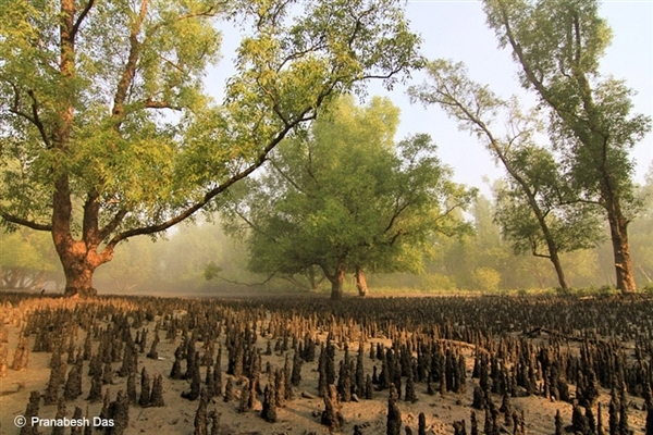 Sunderbans, the man grove forest is at stake