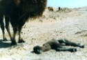 Scenes of dead baby camels are not uncommon