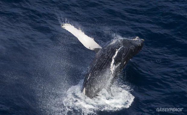 Humpback Whales in Indian Ocean